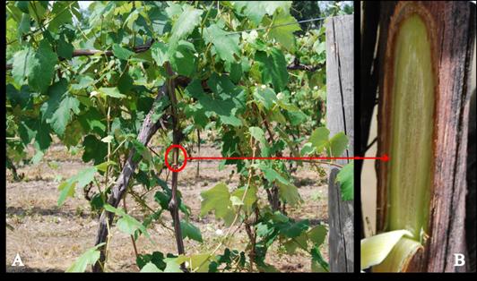 Figure 2. (A) Healthy 'Niagara' vine (B) shallow cut exposing phloem and xylem.