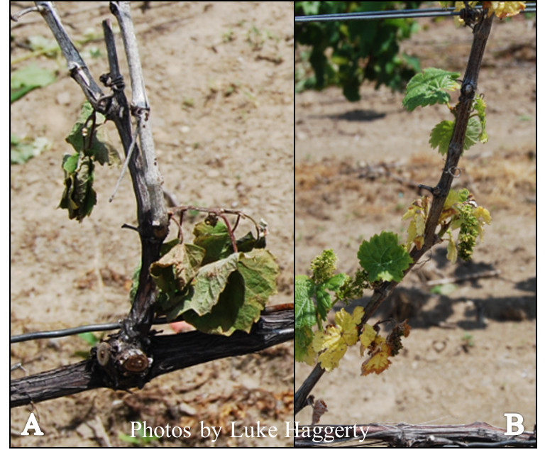 Figure 3. Sever winter damage to 'Pinot gris' (A) vine collapse (B) stunted shoots with chlorosis.