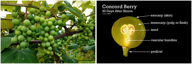 Concord 30 Days After Bloom: 7/12/2017