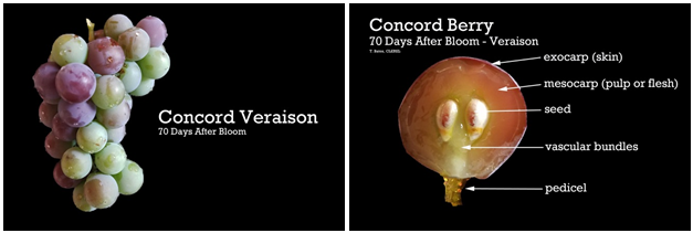 Concord Fresh Berry Weight Development: Beginning of Stage III.