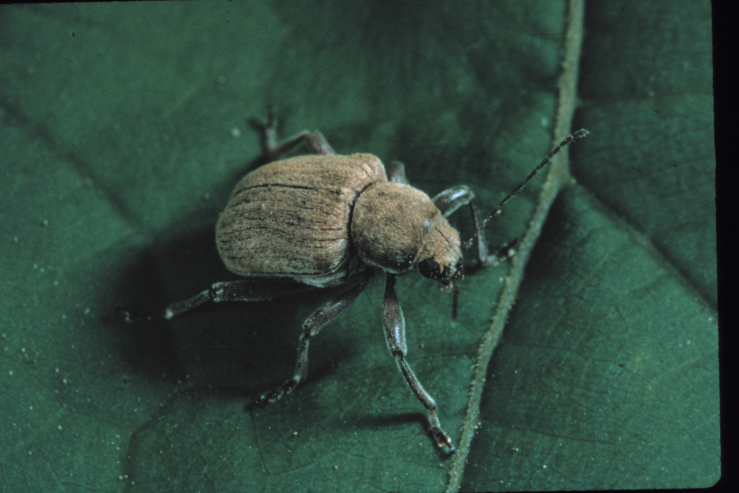 Grape rootworm - Native to North America.Has become more of an issue in the Lake Erie region in recent years.