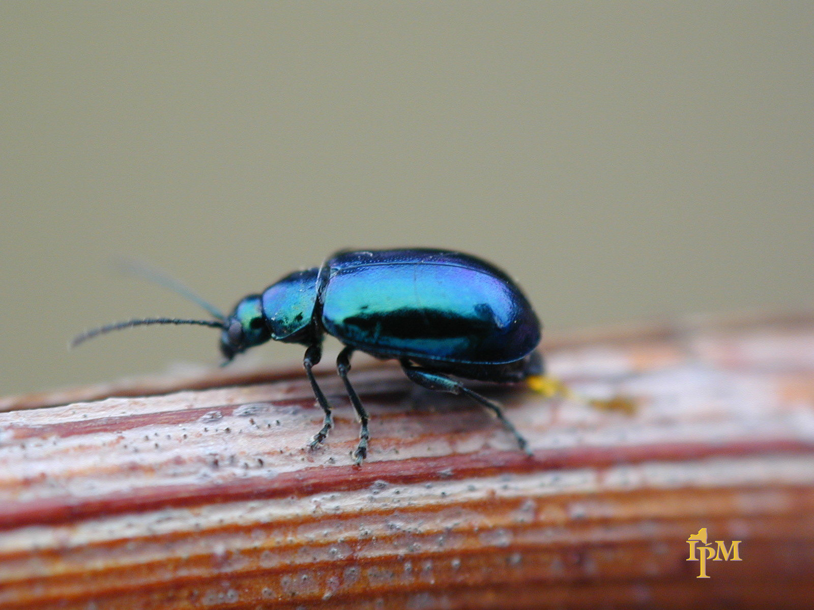 Grape flea beetle or steely beetle - Native to North America.Feed on small grape buds.