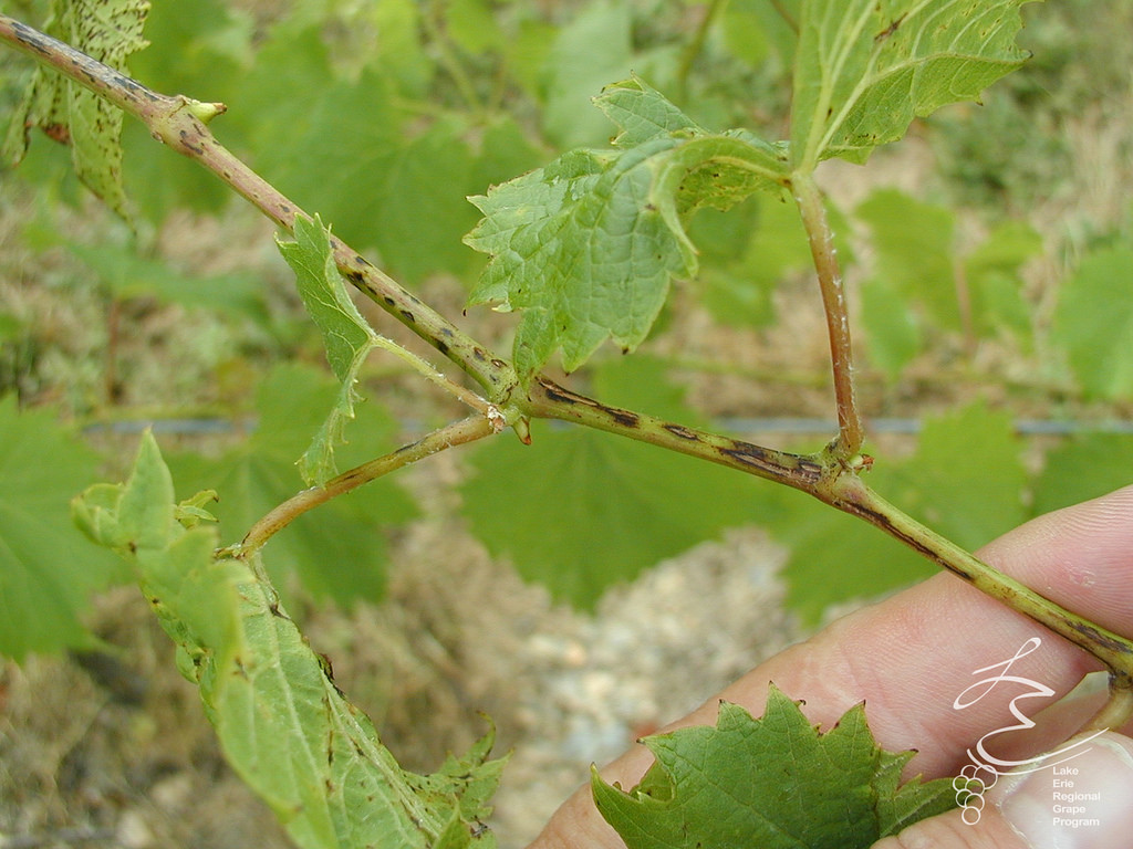 Phomopsis cane and leaf spot - Fungal.Hedged vineyards are at a particular risk of incurring economic losses, although serious problems occur regularly in hand-pruned vineyards when conditions are favorable.