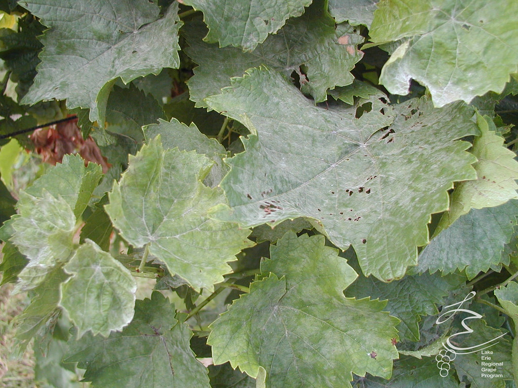 Powdery mildew - Fungal.Can grow on both sides of a leaf.