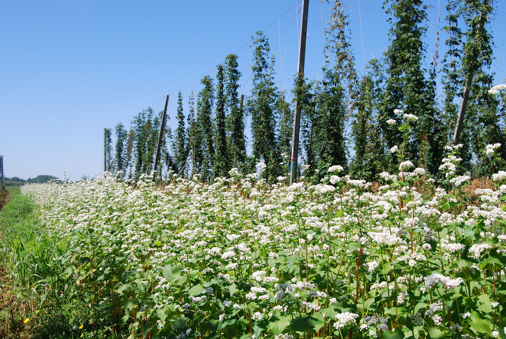 Buckwheat - Extracts soil phosphorus.Attracts pollinators.Suppresses weeds.