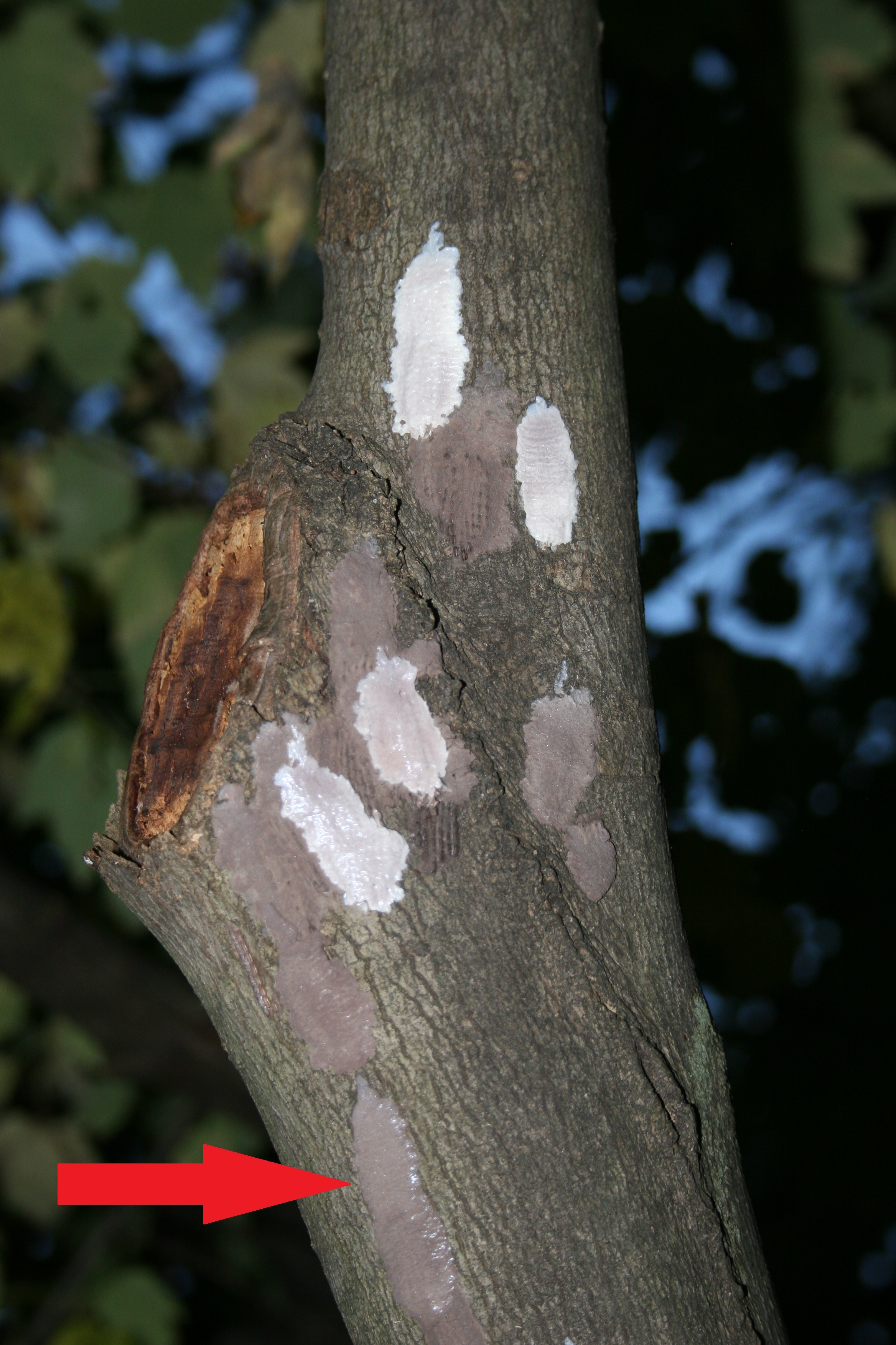 Spotted lanternfly egg masses on a tree branch.