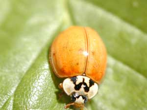 multicolored asian lady beetle - Native to Asia.Predator to most mites and aphids but will feed on berries.