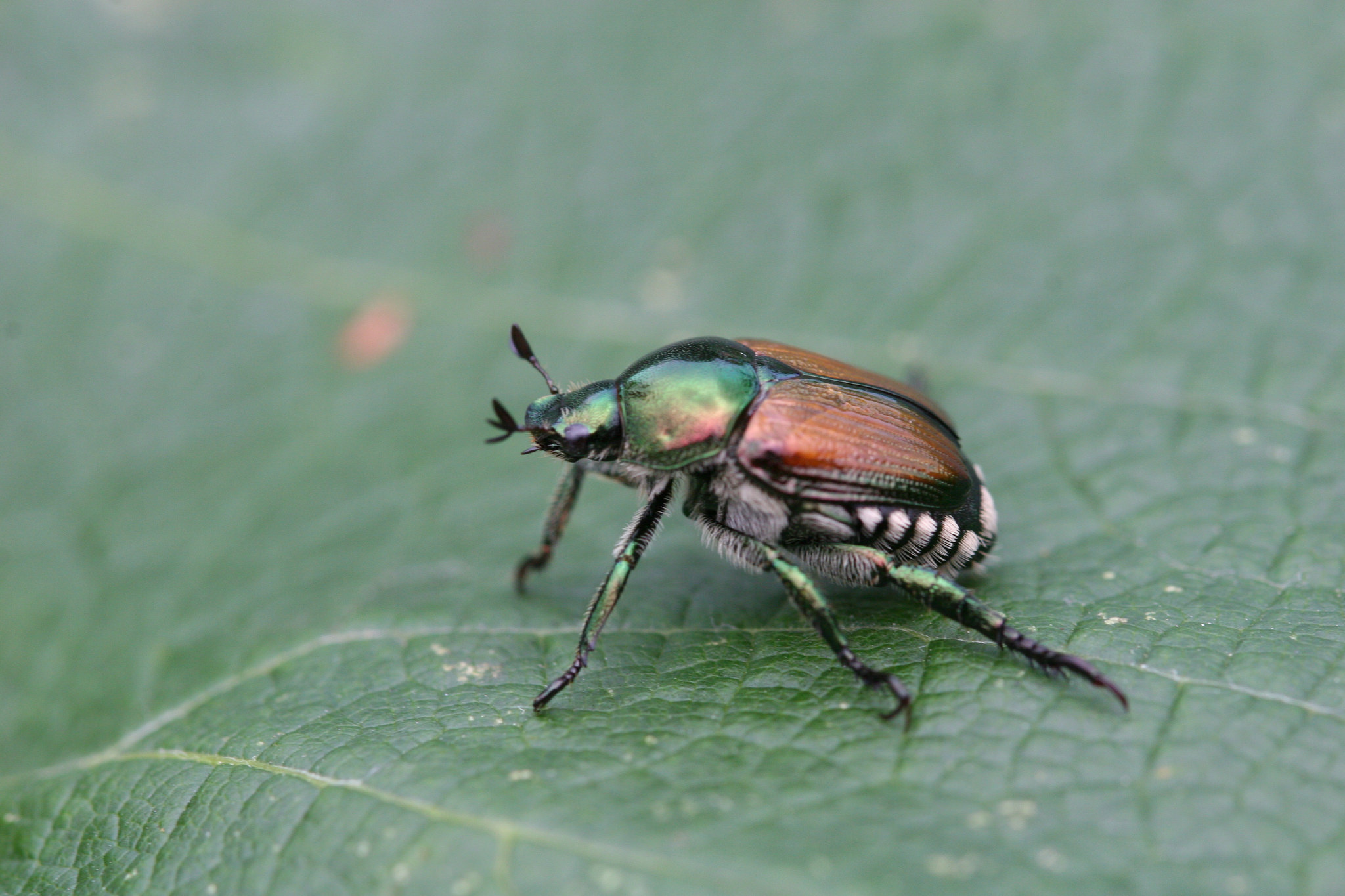 Japanese beetle - Native to Asia.Vineyards adjacent to pasture or sod fields are more susceptible to infestation.