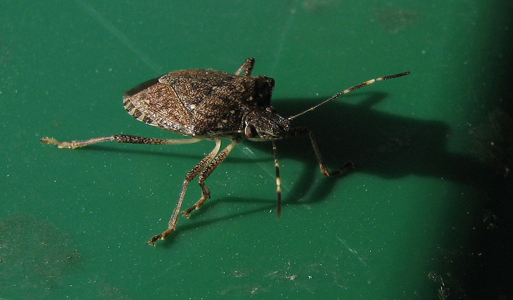 brown marmorated stink bug - Native to Asia.Potential issue for New York and Pennsylvania grape growers.