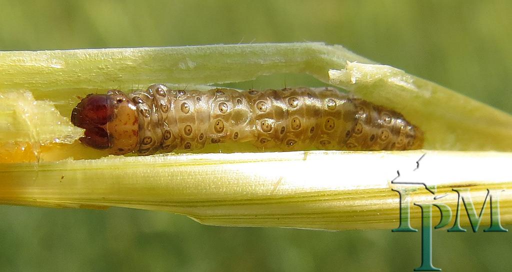 European corn borer - Non-native.Usually found in Vinifera varieties.