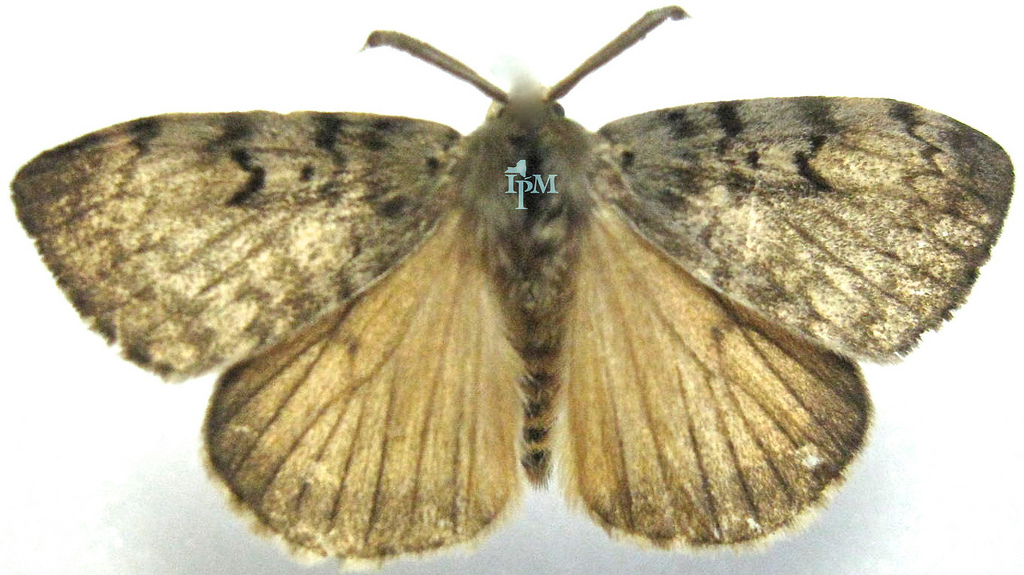 """Gypsy Moth - Native to France.These have become """"naturalized"""" in northeaster forest communities."""