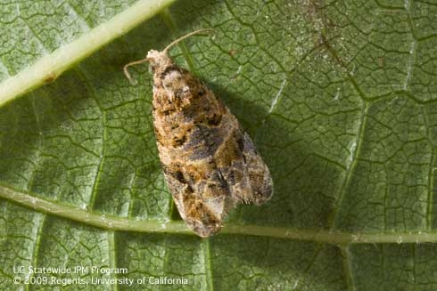 European grapevine moth - Native to southern Italy.Each successive generation feeds on a different part of the host plant.Part of the NY CAPS project.