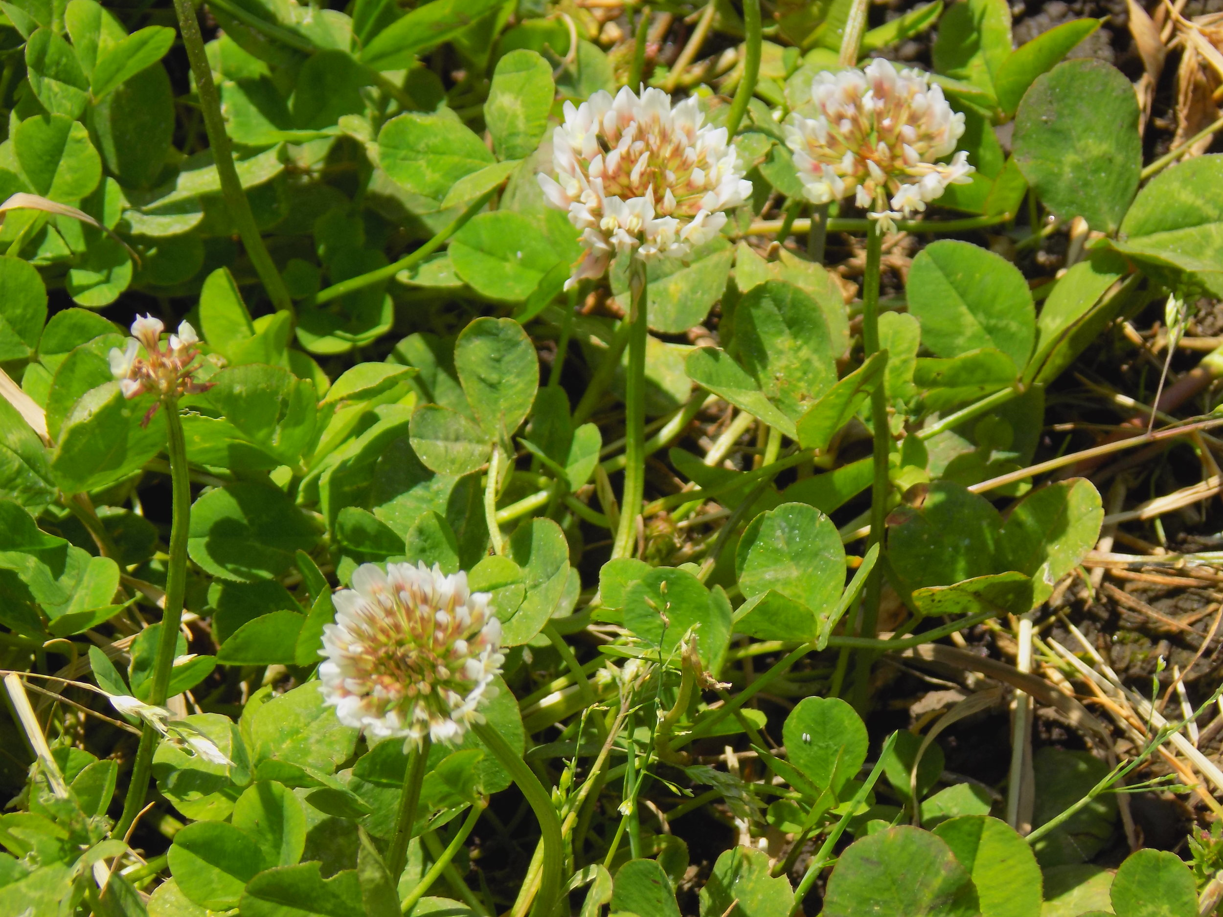 Dutch clover - Nitrogen producers.Prevent soil from erosion with dense, shallow roots.Stand up well to heavy traffic.