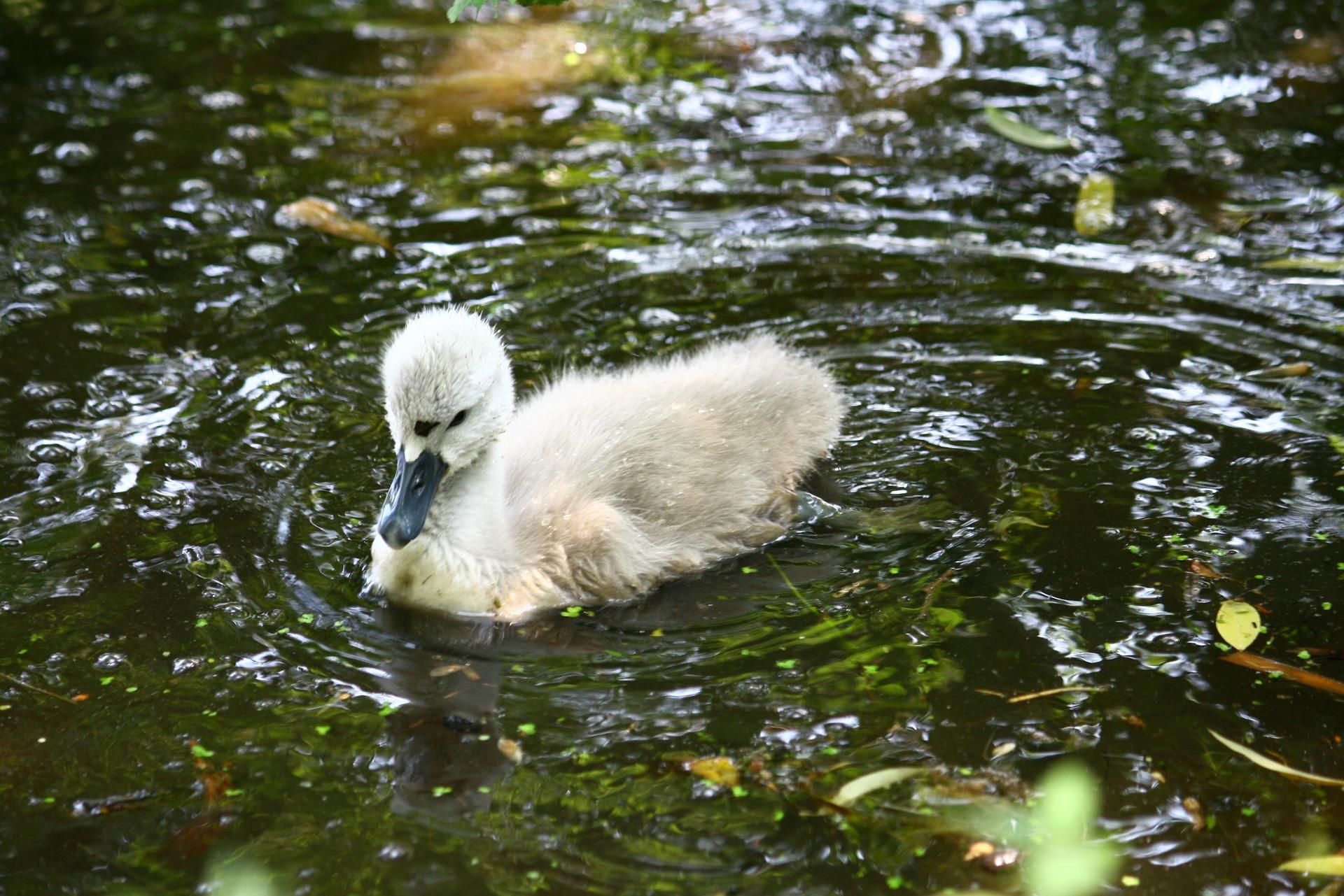 swan-1639154_1920.jpg