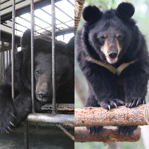 before and after moon bear.jpg