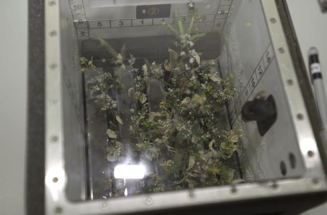 View of the Brassica Rapa plants grown in the Biomass Production System on the ISS. Credit: NASA.