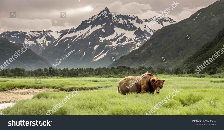 stock-photo-grizzly-bear-of-shores-of-alaska-1098244256.jpg