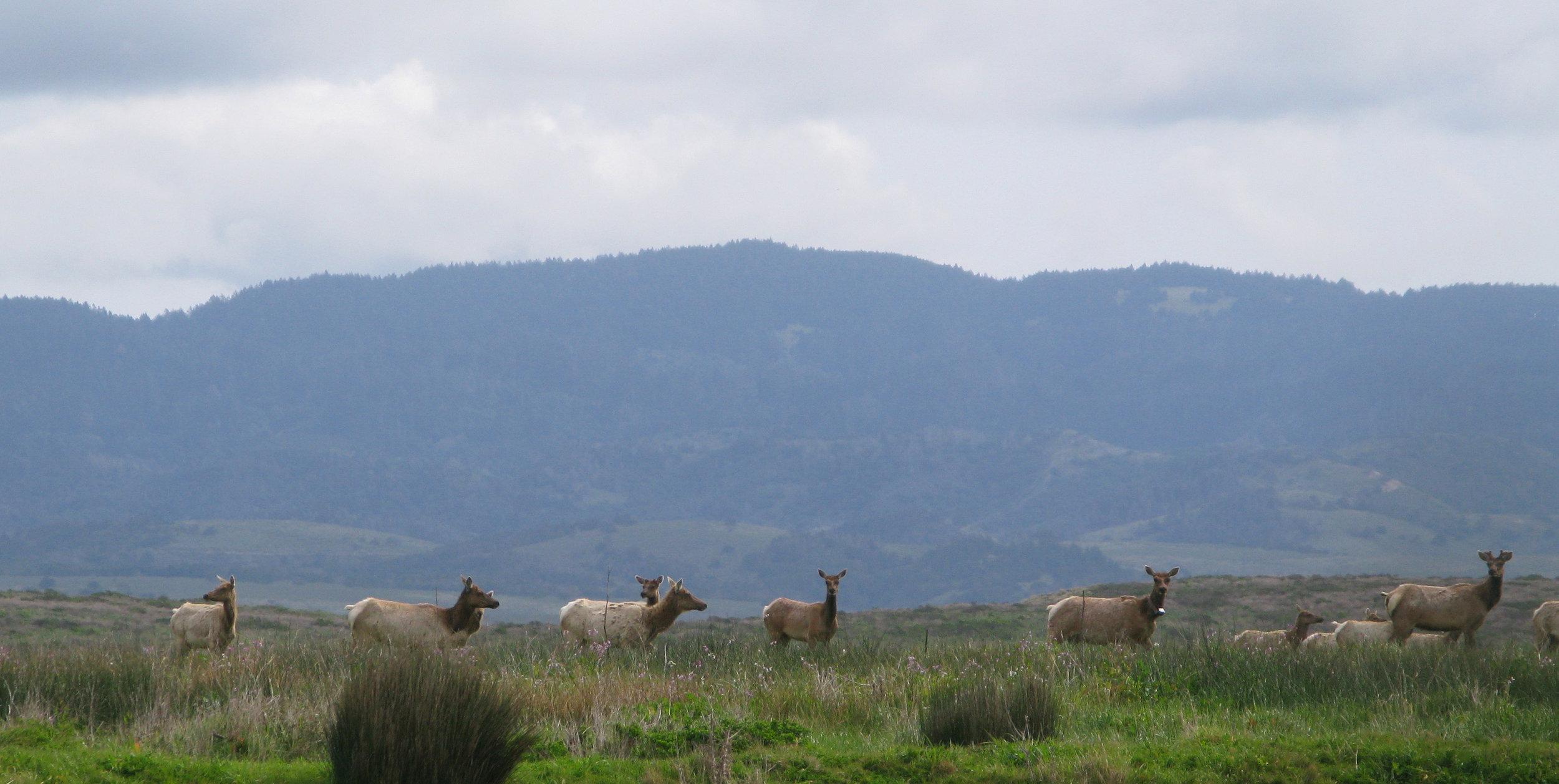 Pt-Reyes-tule-elk-D-Ranch-hi.jpg
