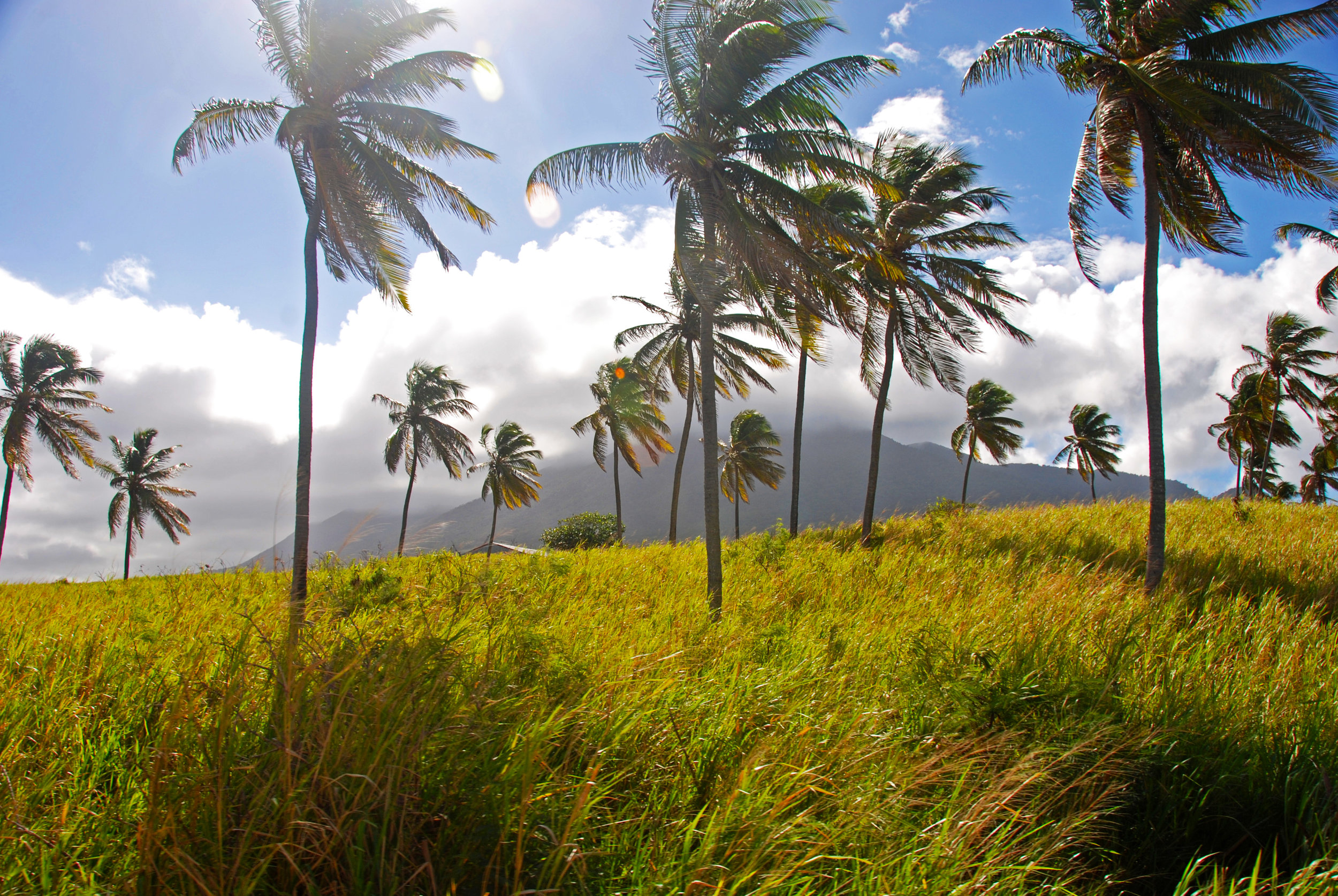 St._Kitts_grasslands_and_palm_trees_-_panoramio.jpg
