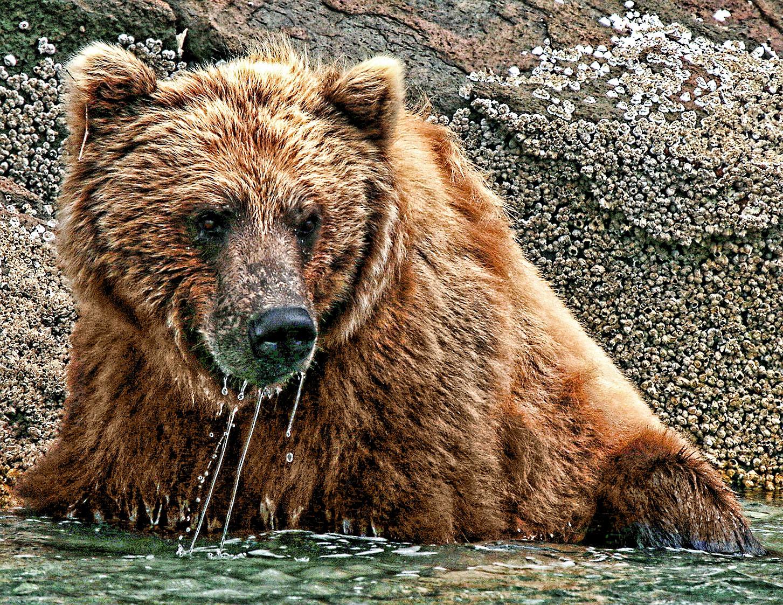 bathing bear geographic harbor alaska