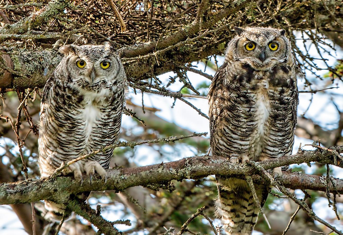 great horned owls unga island alaska