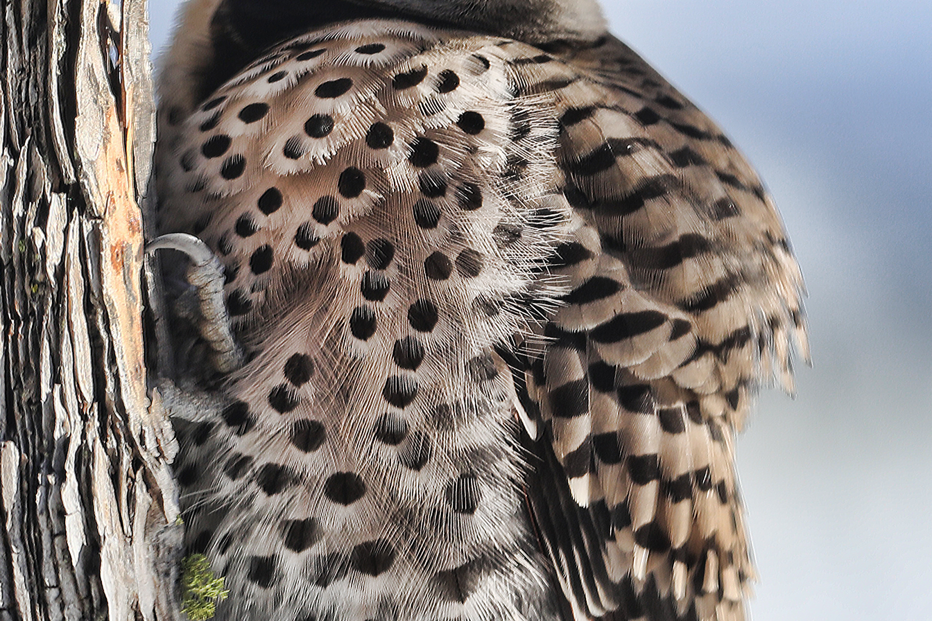 Close-up of breast feathers in image above.