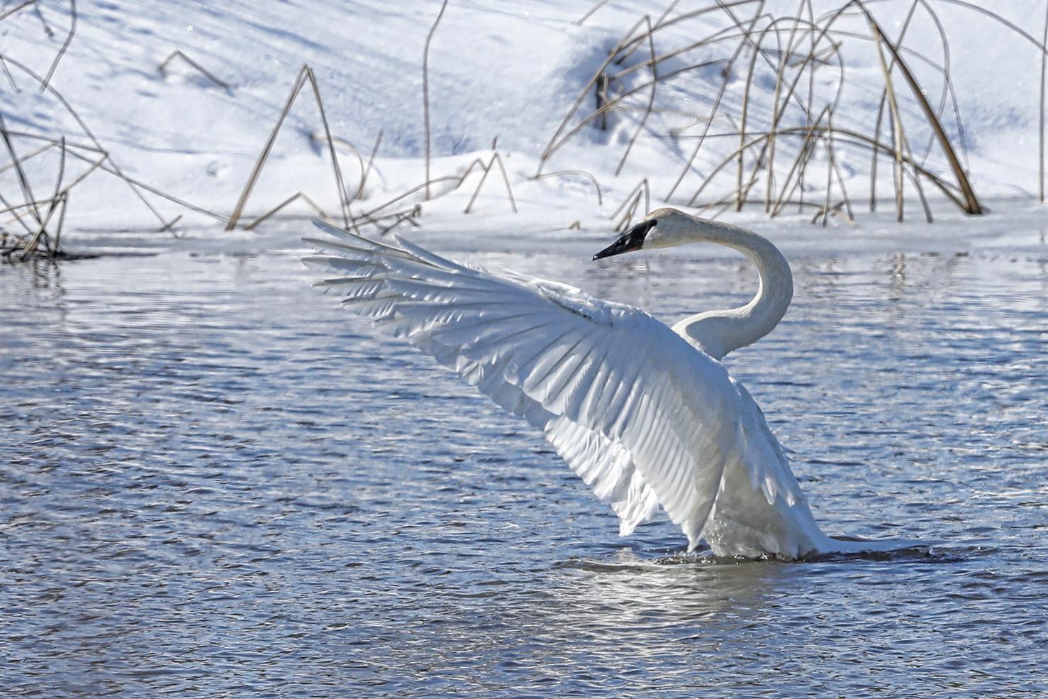 tnwr-swans-2.jpg