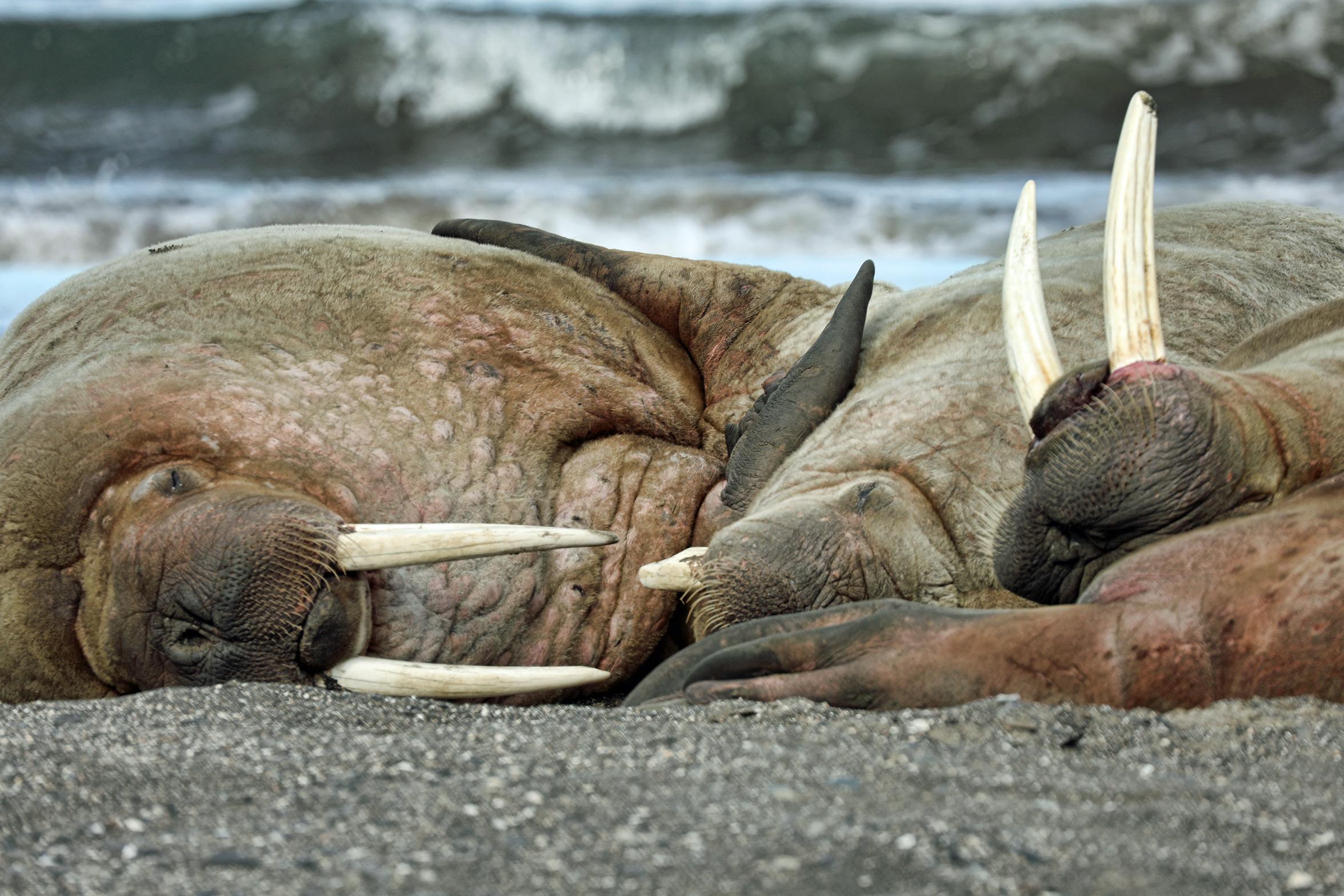 Slumbering walrus.