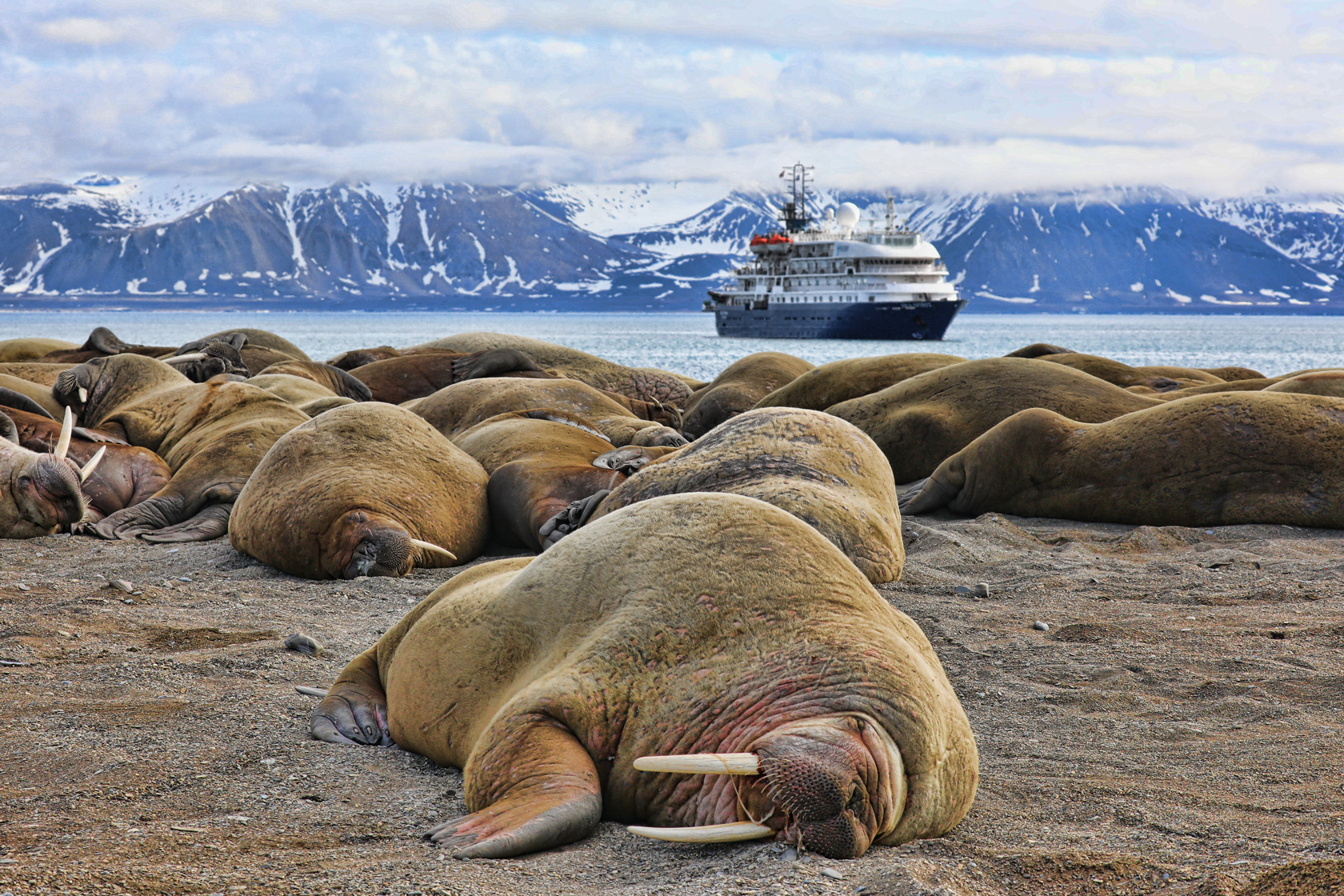 svalbard-poolepynten-walrus-with-ship.jpg