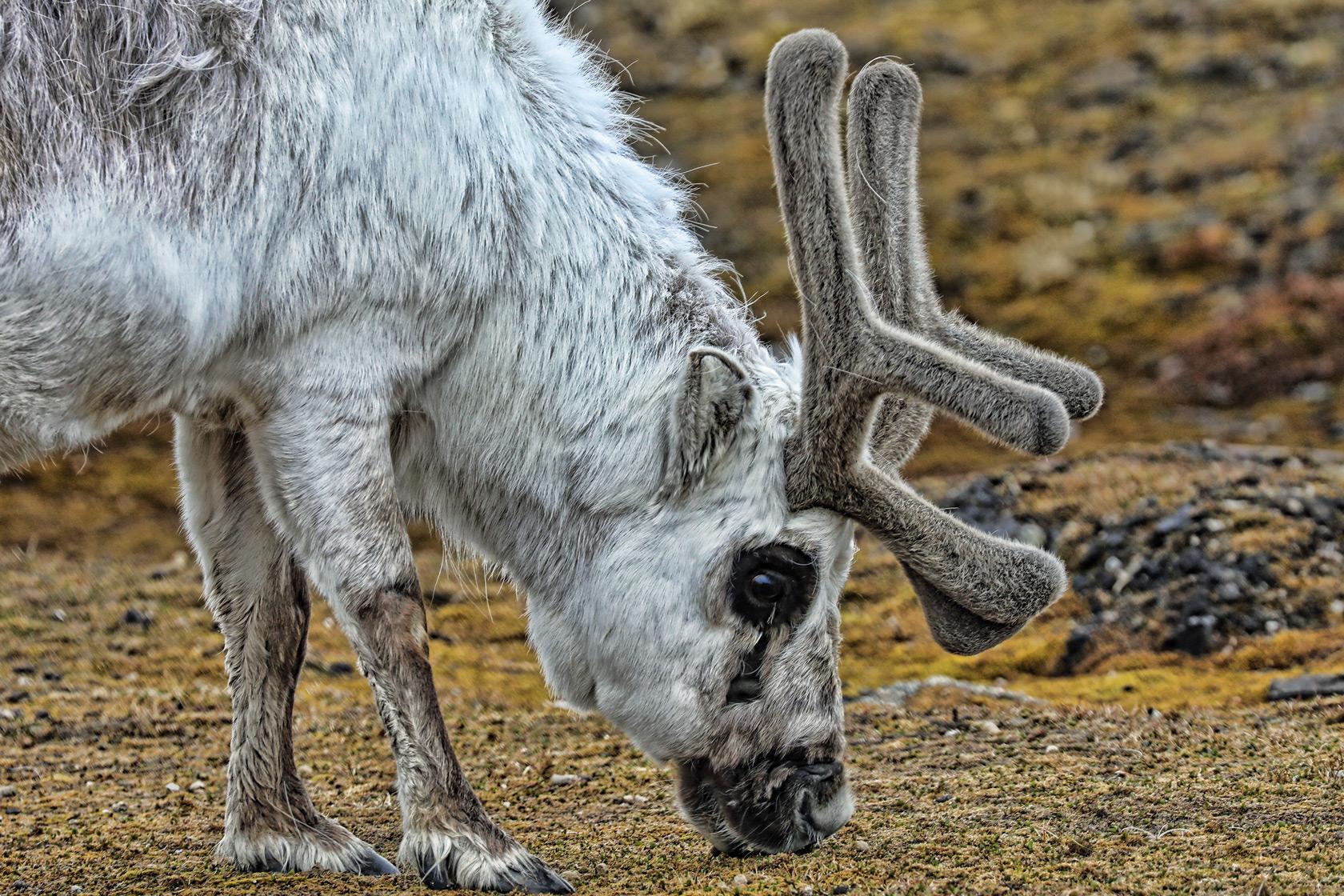 svalbard-ny-alesund-grazing-reindeer.jpg