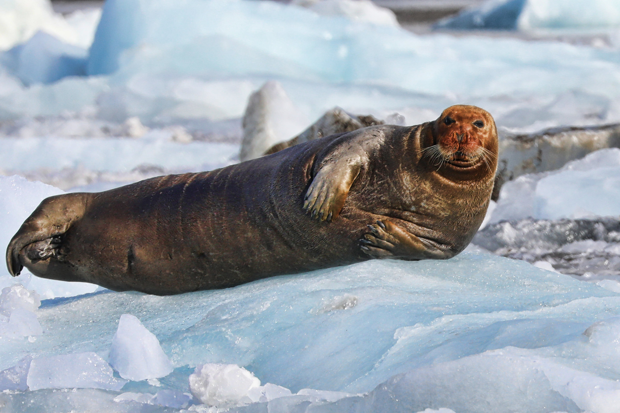 Bearded seal on ice.