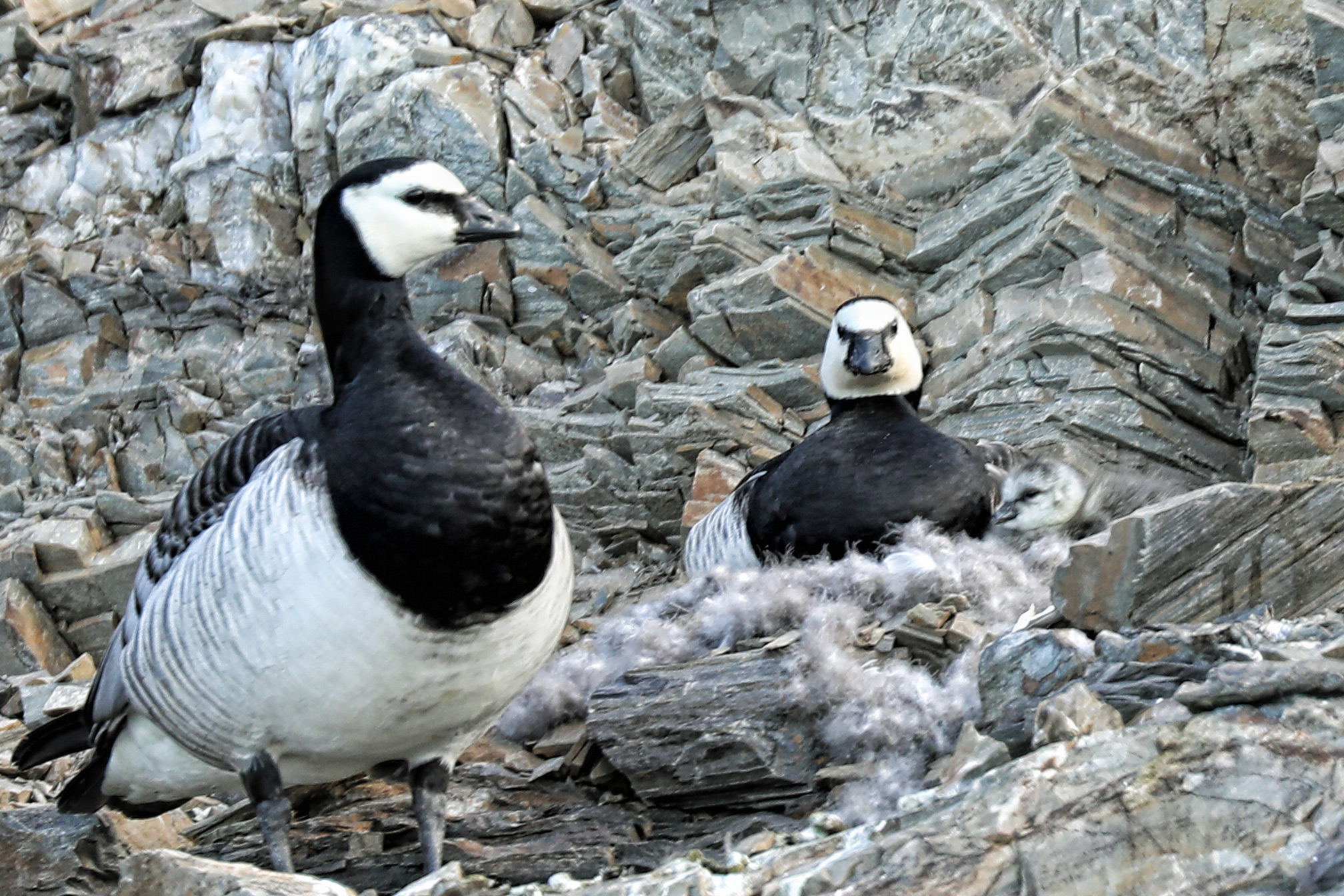 Barnacle geese with a chick (in nest, far right).