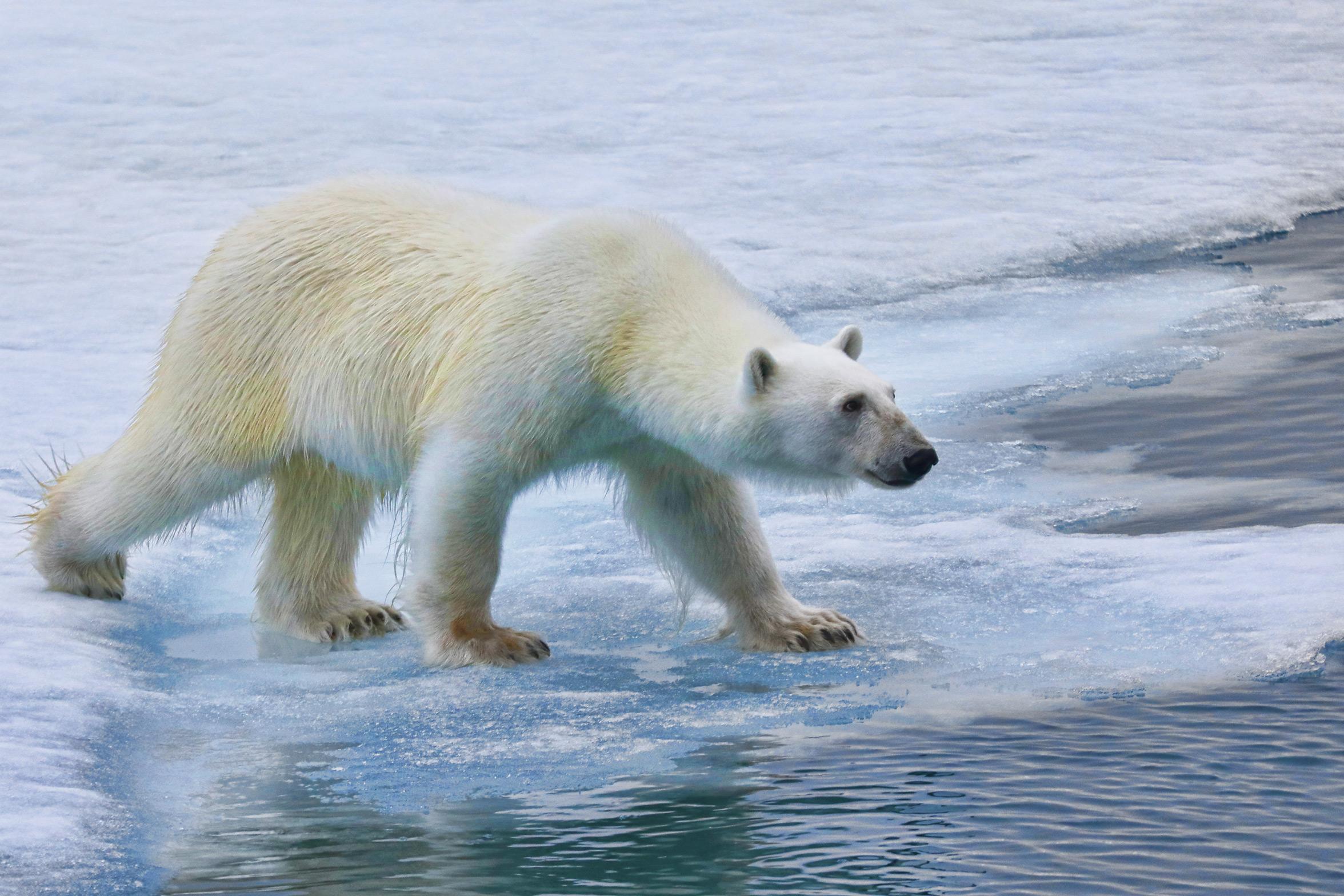 svalbard-polar-bear-2.jpg