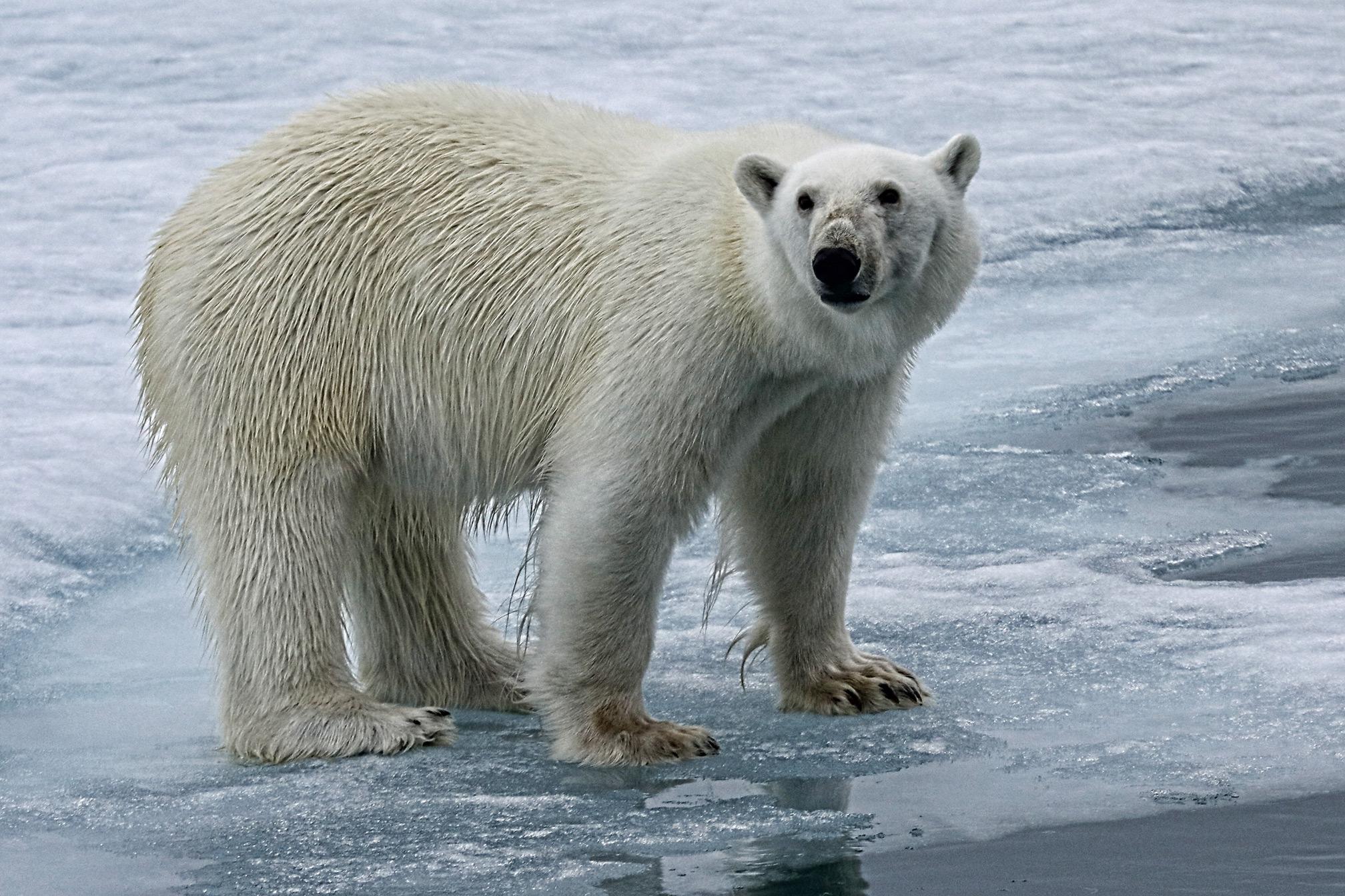 svalbard-polar-bear-close-detail-2.jpg