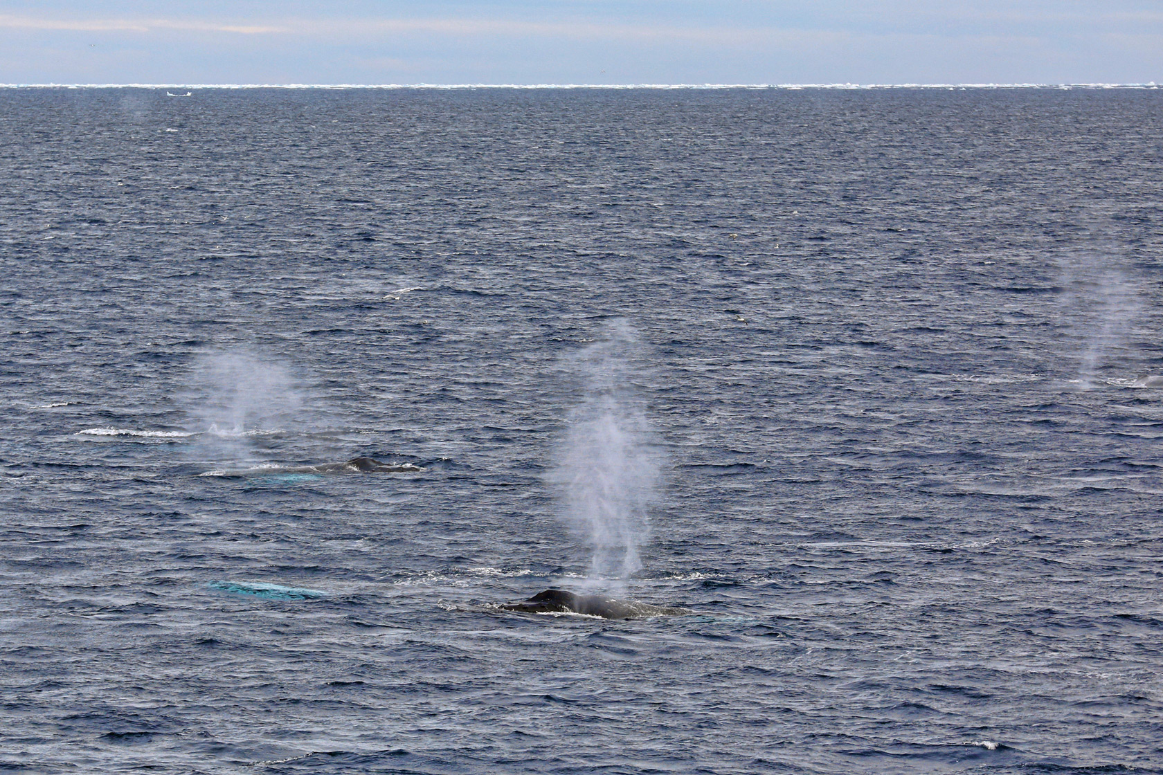 humpback-blows-ice-edge-greenland.jpg