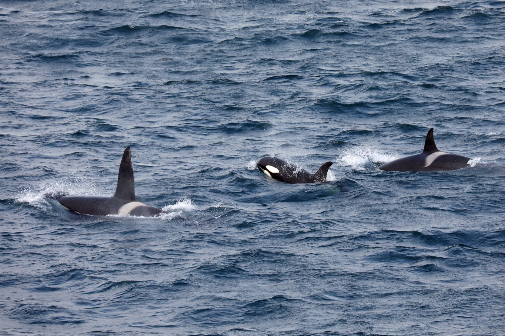 Orca pod welcoming committee in the Denmark Strait between Greenland and Iceland.