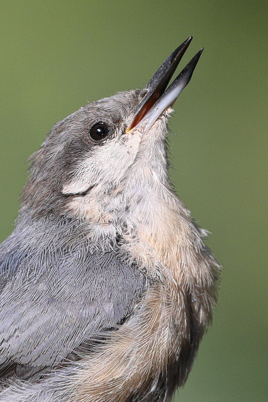nuthatch-close.jpg