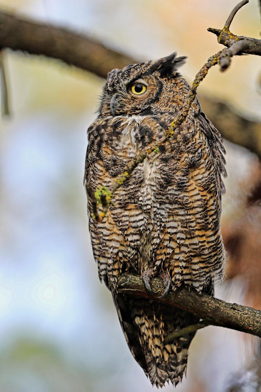 great-horned-owl-2.jpg