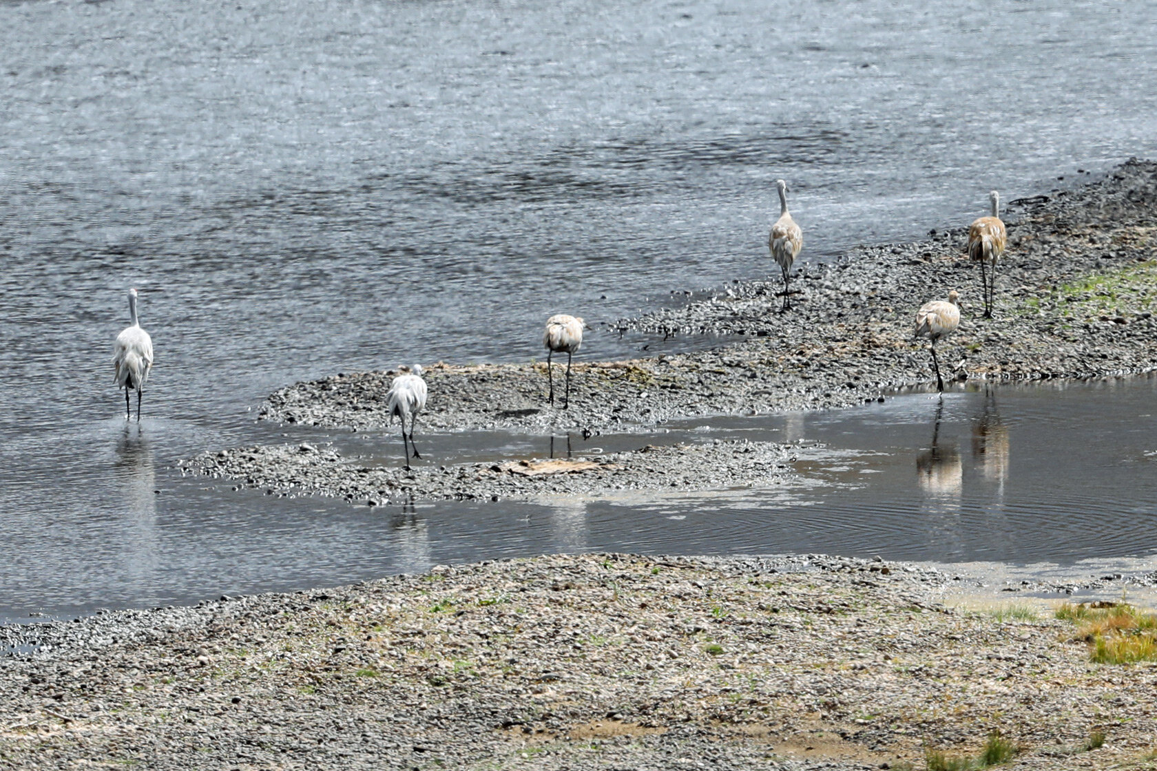 The back ends of six sandhill cranes on the Big Hole River north of Wisdom, MT.