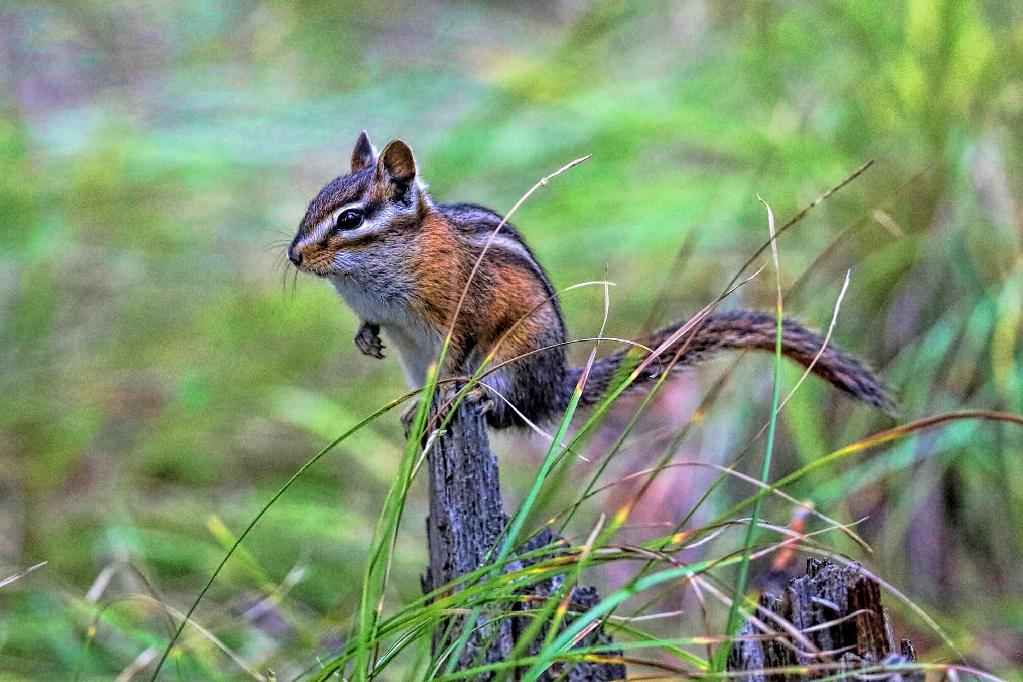 Red-tailed chipmunk in camp.