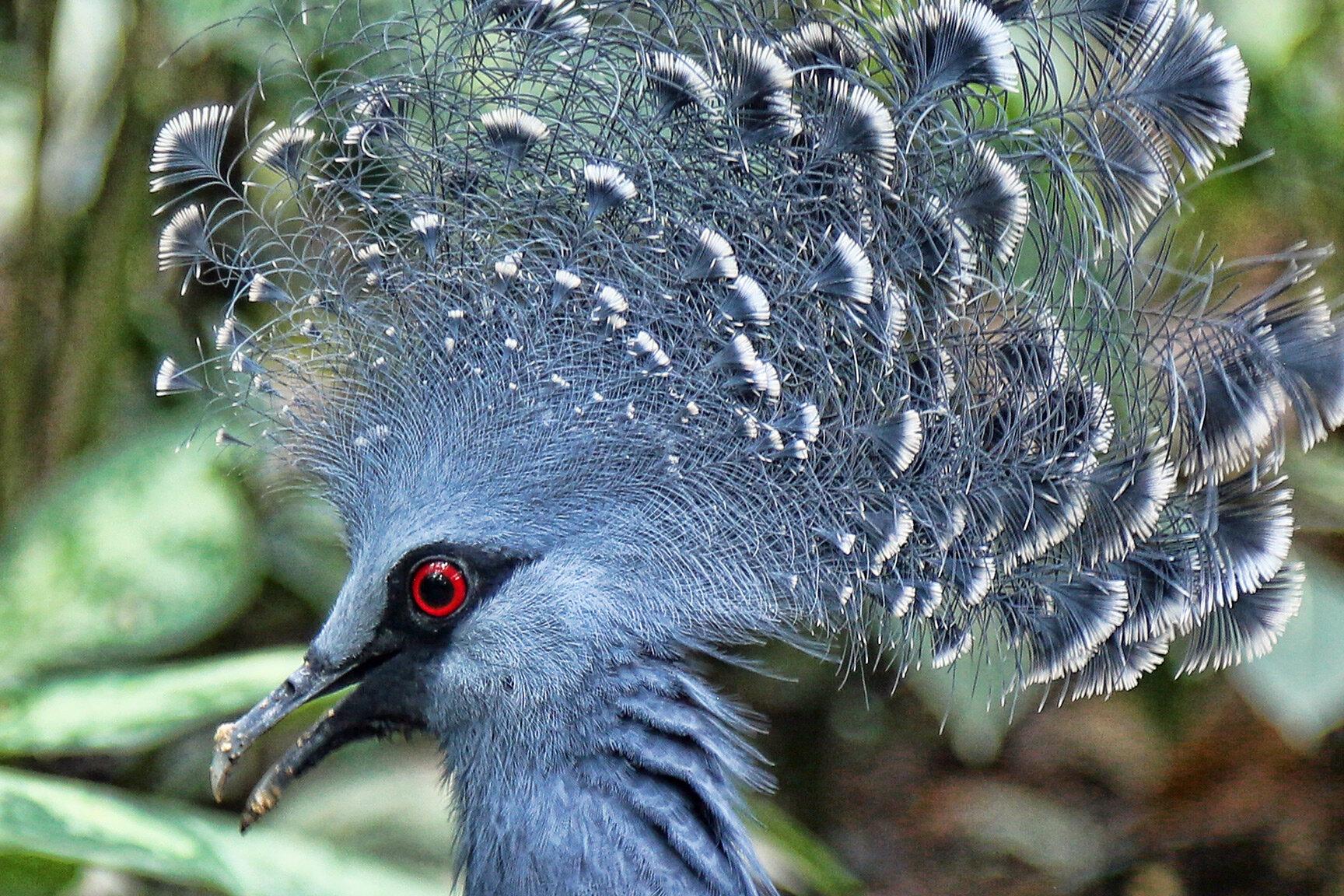 Victorias crowned pigeon.