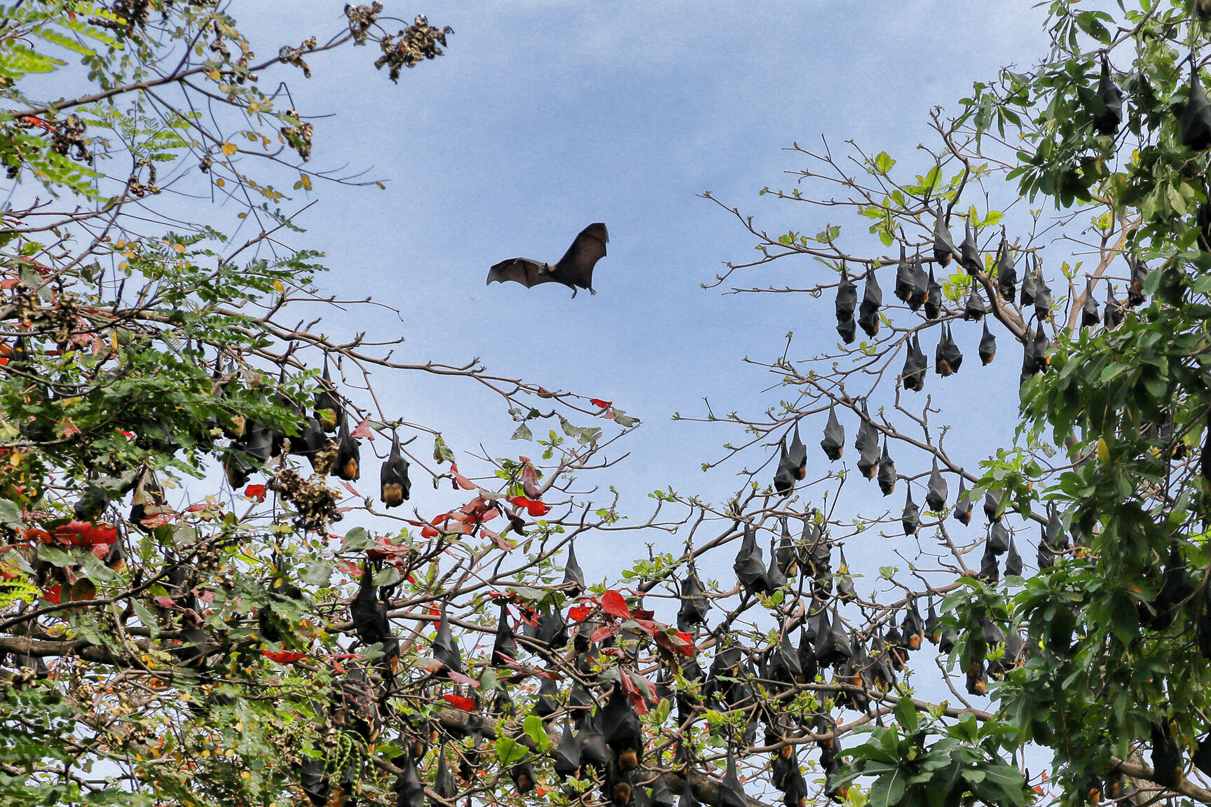Flying foxes (fruit bats).