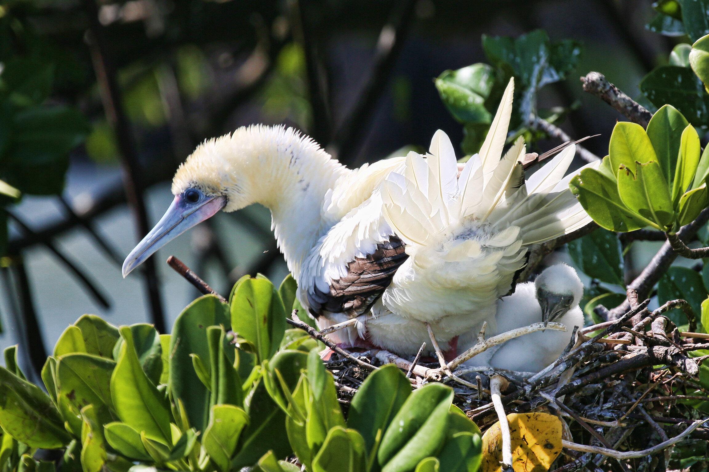 alim-island-rfb-with-chick.jpg