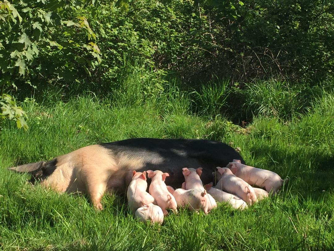 Sister sows rearing family litters in Tuckers Woods