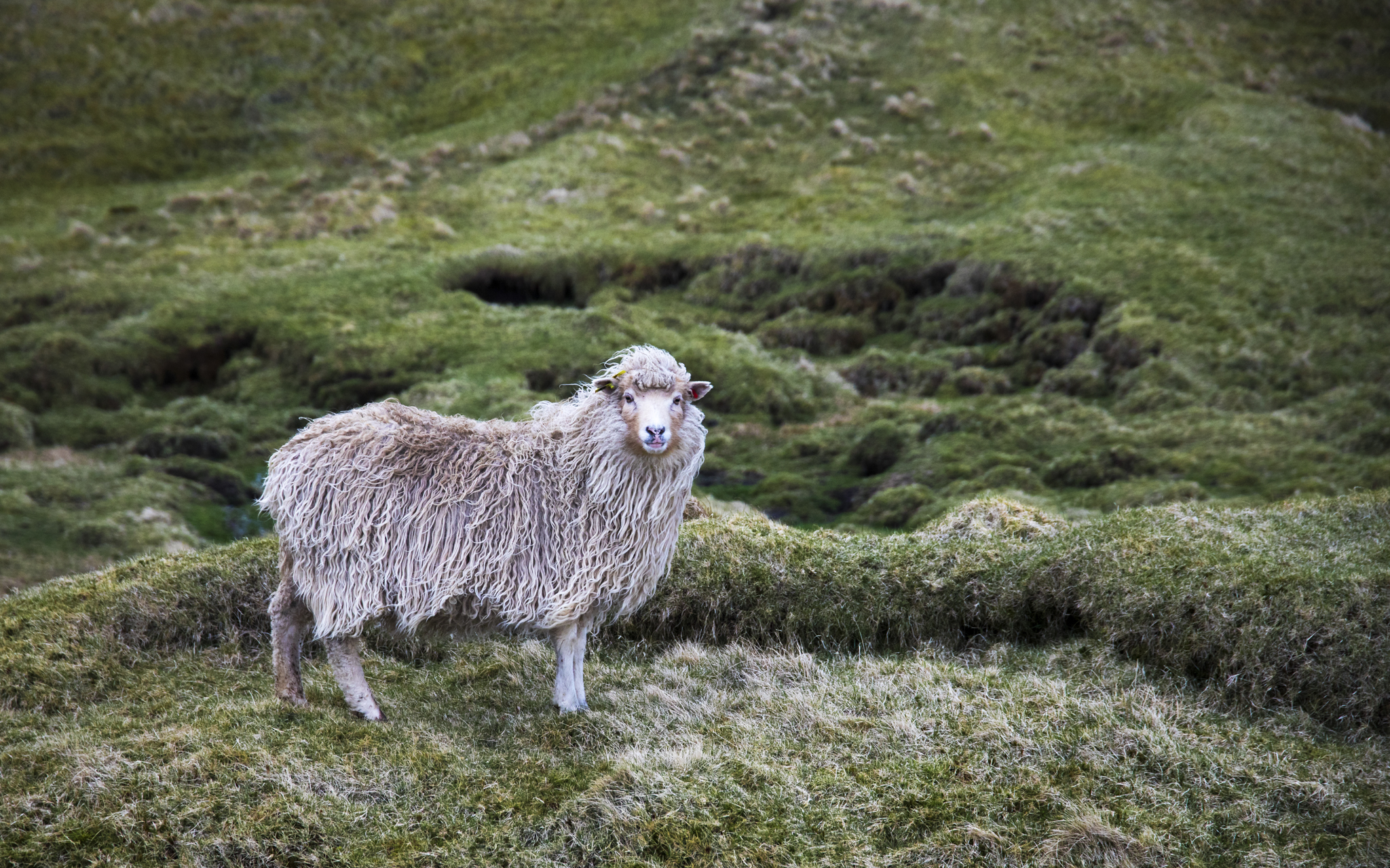 A Faroe Island sheep - because it's as Irish-looking as I have without actually having started my Irish photography yet.