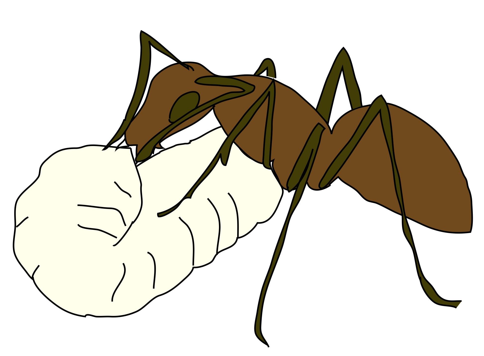 ant larva.jpg