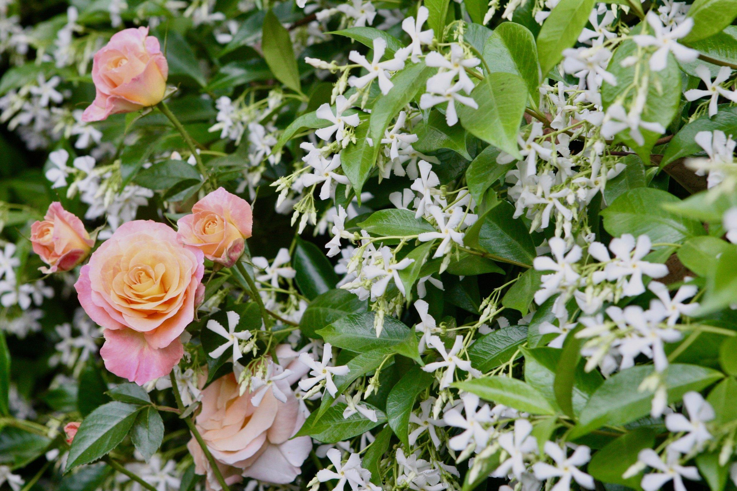 jasmine & roses1.jpg