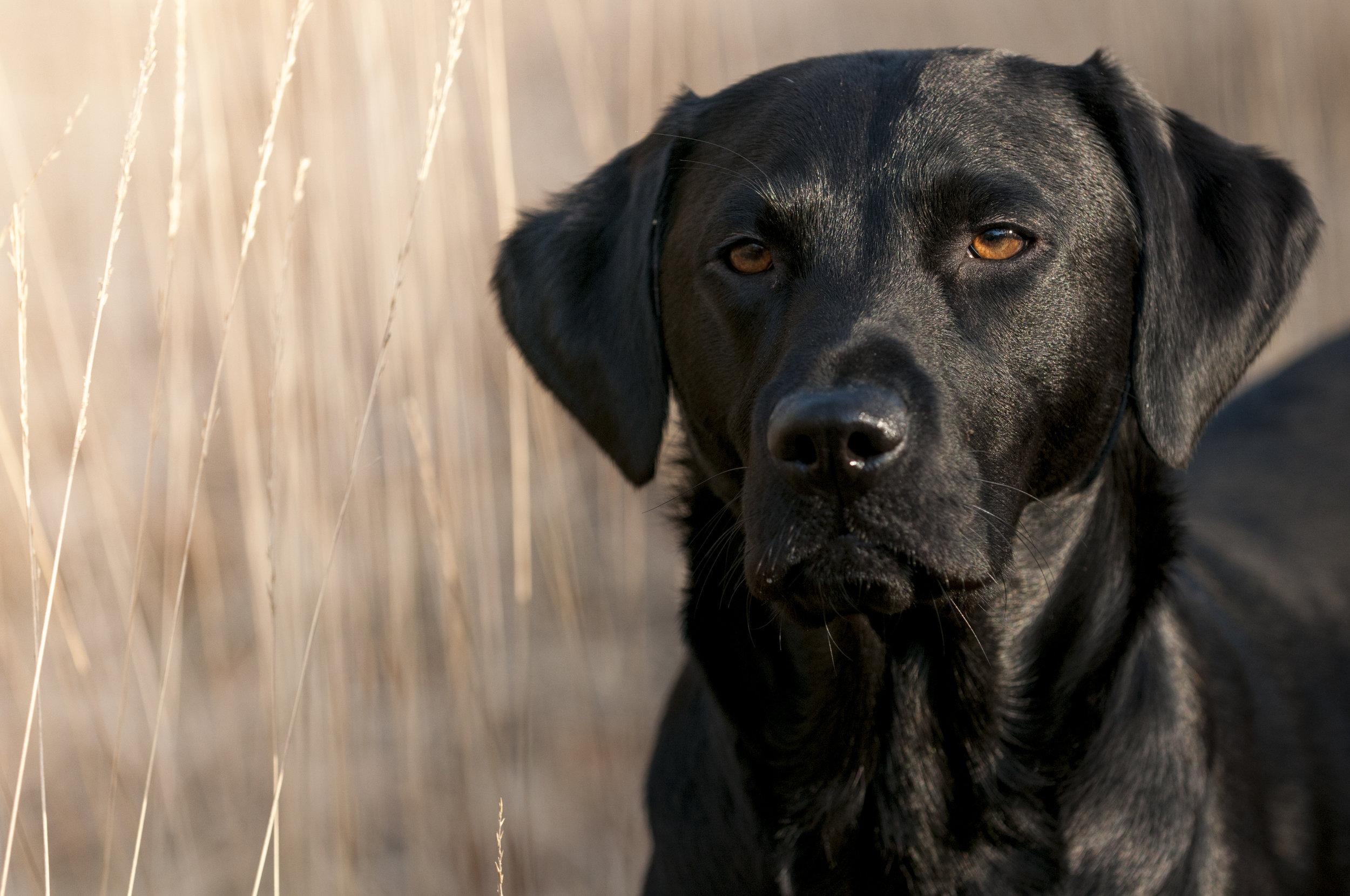 black-labrador-531057339_4288x2848.jpeg