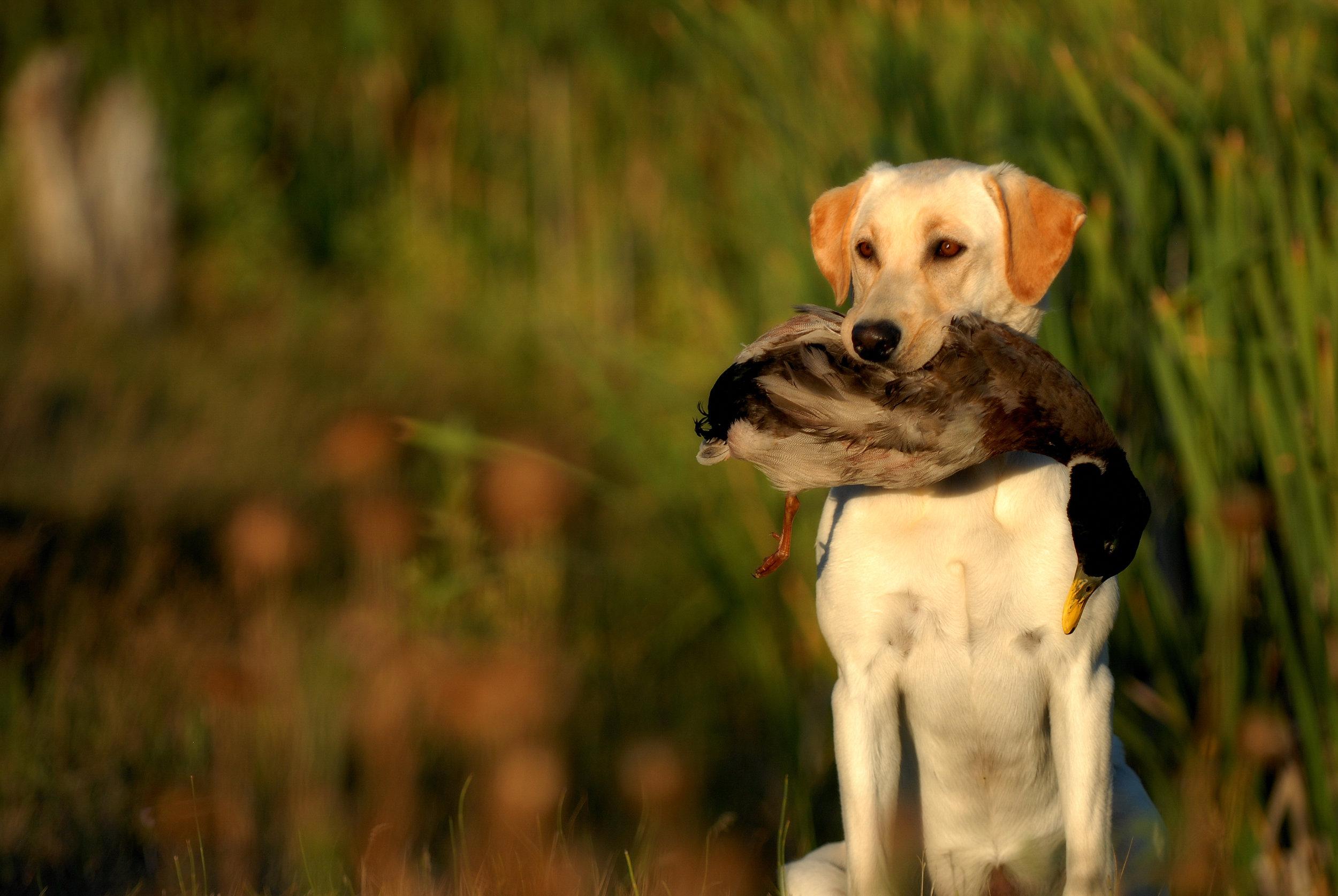 Yellow-Labrador-Retriever-Hunting-477849979_3872x2592.jpeg