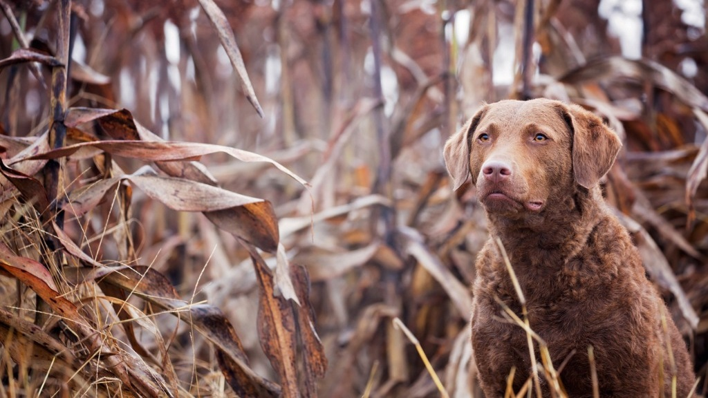 dog-retriever-portait-picture-id493719690.jpg